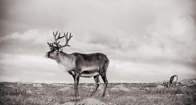 Reindeer in Sarek NP